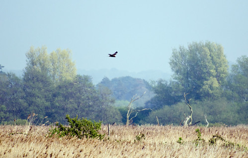 Marsh harrier on the prowl | by SparkleHedgehog