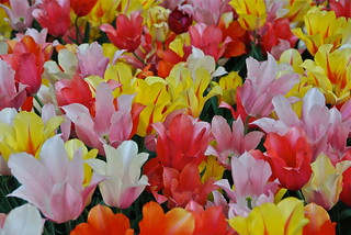 Salade de tulipes claires | by Flikkersteph -4,000,000 views ,thank you!