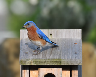 Eastern Bluebird | by VonShawn