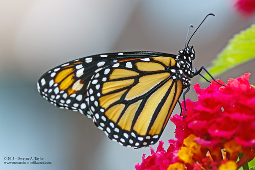 First_Reared_Monarch_of_2011 | by dandjtaylor2003