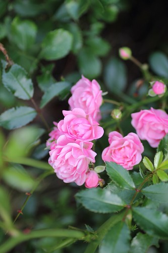 Tiny roses- early morning | by Adventuress Heart