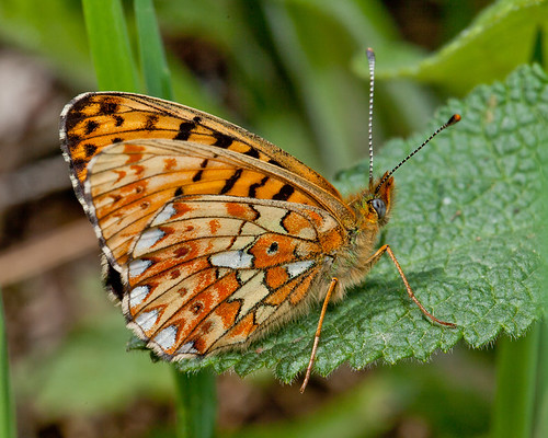 Pearl Bordered Fritillary | by Exiled Red Devil
