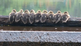 Baby Ducks on a log | by Mike's Birds