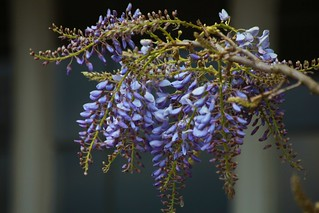 Wisteria at Winterbourne | by Heaven`s Gate (John)