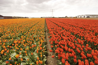 The Tulips, Spring in Holland (1). | by Sau.Rieng