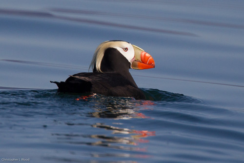 Tufted Puffin | by Christopher L Wood