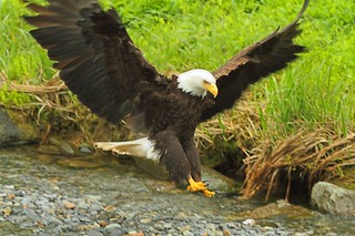 eaglejune2012 002 (800x533) | by Alaska.Deb02