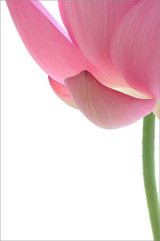 Lotus Flower Petals Lotuspetals Imgb4663 1000 Flickr