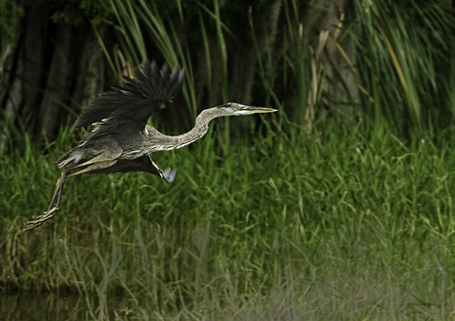 Lake Istokpoga -Juvenile Great Blue Heron In-Flight | by stan hope Off and on.