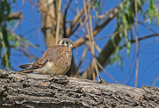 Young female Kestrel | by littlebiddle