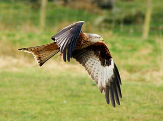 Red Kite | by Alan.Edmondson