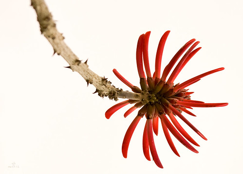 Coral Tree flower closeup  (25 March 12) | by ejbSF