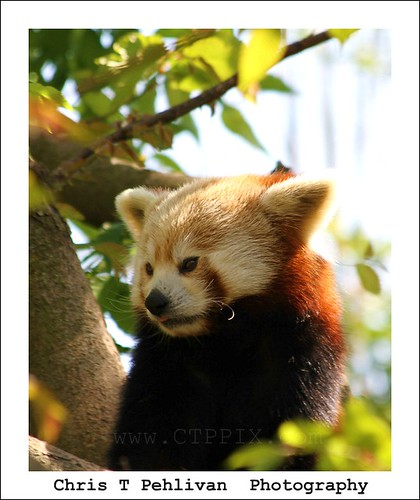 Red Panda | by CTPPIX.com