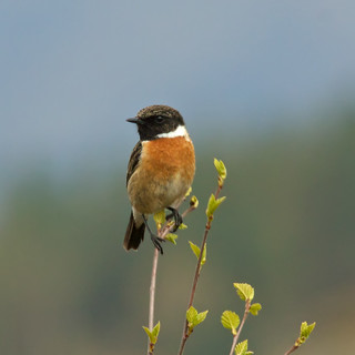 stonechat | by 4gyp