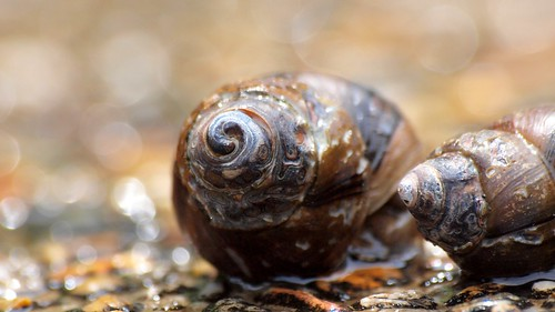 Pond snails | by coniferconifer