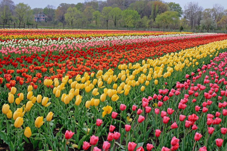 After years of wanting to go to Tulip Time in Holland, Michigan, we finally  got the opportunity this year and it did not disappoint!