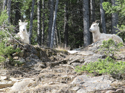 Mountain Goats Catching Some Rays | by Larry He's So Fine