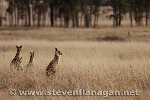 Kangaroos in the field... | by Steven Flanagan
