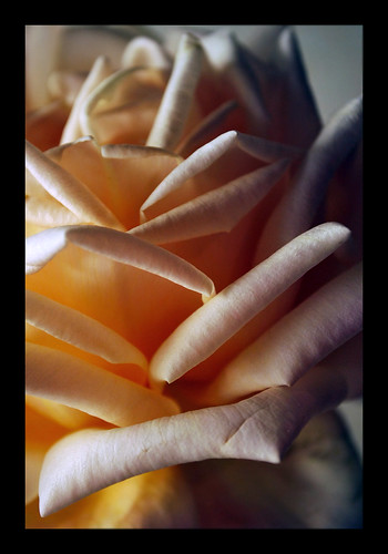 Rose II | by The Aberrant Eye