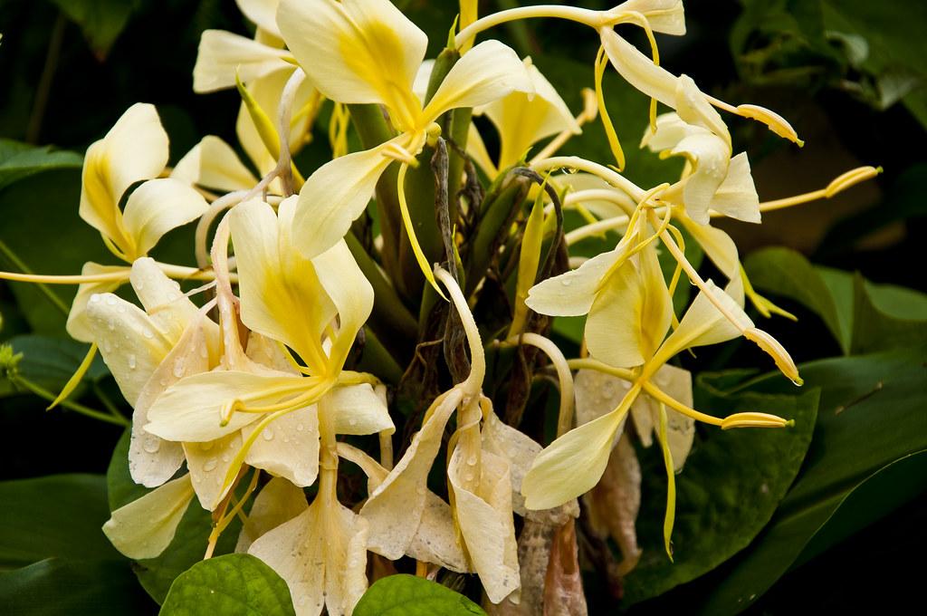 White Ginger Flowers White Ginger Plants Are Found Through Flickr