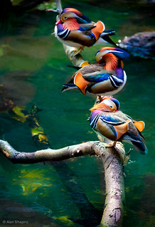 Mandarins Chillin' out poolside in the rain forest | by alan shapiro photography