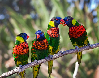 Loitering Lorikeets | by Forget Me Knott Photography