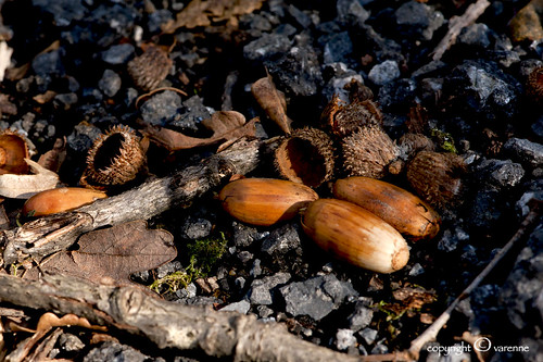 acorns | by EG documentary photography
