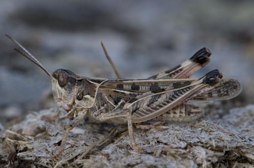 Acrididae  Wikipedia
