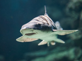 leopard shark | by iPhotograph