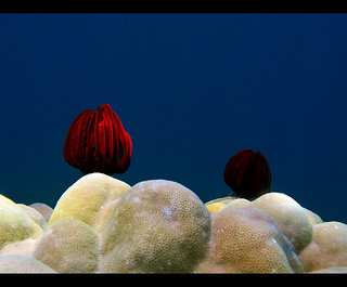 Red Crinoids | by Giuseppe Suaria
