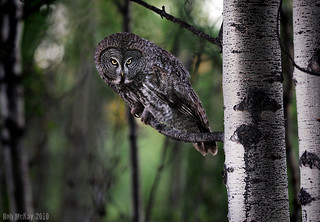 Summer Great Grey Owls | by Rob McKay Photography