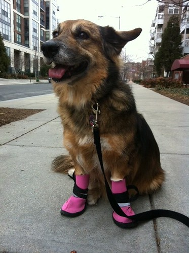 Maggie in her doggie boots! | by claudinehellmuth