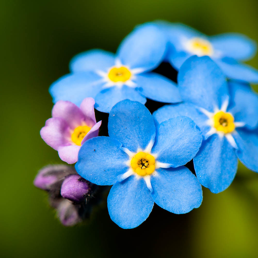 Forget Me Not Flowers In Spring My 105mm Macro Micro Fi Flickr