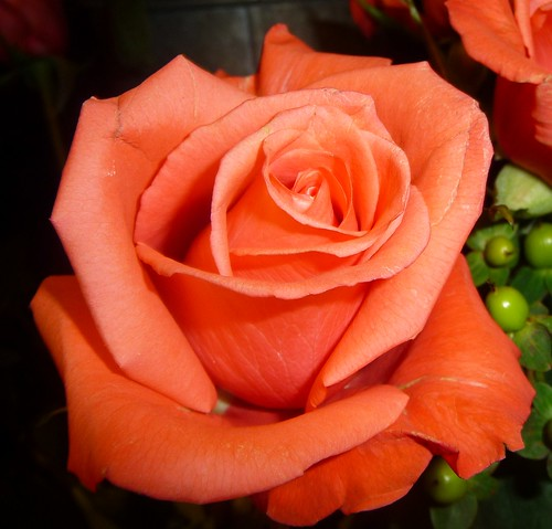ORANGE ROSE | by picolojojo