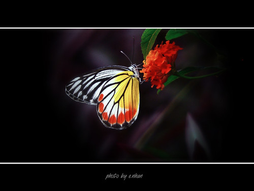 butterflies and flowers #4 [explored] | by e.nhan