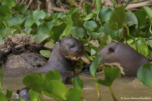 Giant otters with a snack | by Panthera Cats