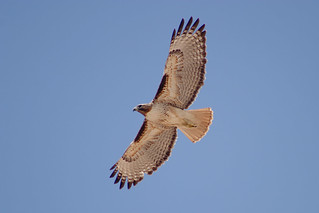 Red-tailed Hawk in flight | by Alan Vernon.