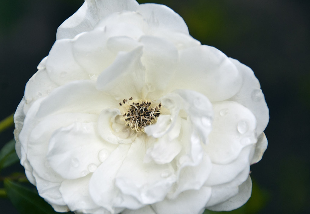 The White Rose Is A Symbol Of Political Resistance Dc 10 Flickr