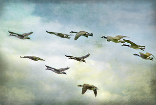 Wild Geese | by Muffet