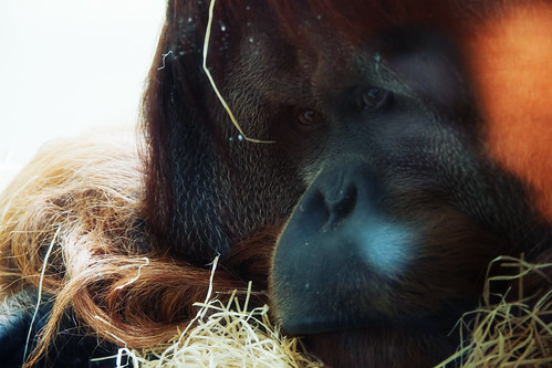 Sad Orangutan | by kirberich