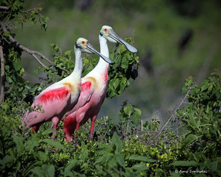 Pair of Roseate Spoonbills | by bunnyfrogs