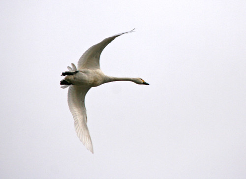 Bewick's swan in flight. | by Blossom's Mom.(Sheila Hess)