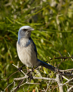 Florida Scrub Jay | by Steve Russell Photography