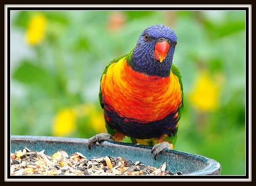 Lorikeet close-up | by Nev Cross