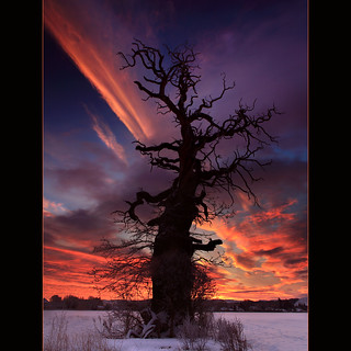 The Cromwell Tree @ Dawn | by angus clyne