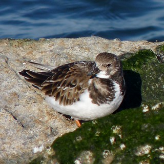 Ruddy Turnstone | by Dendroica cerulea