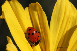 Ladybug | by Jeannette Cain
