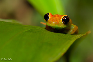 Boophis viridis | by  Pere Soler
