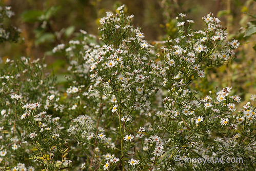 Flat-topped White Asters