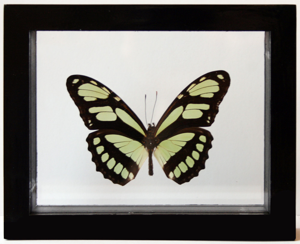 Real Green Philaethria Dido Framed Butterfly Art in Black | Flickr